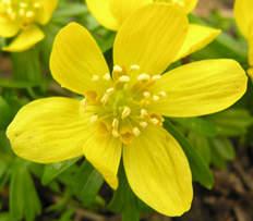 Erantis betyder forårsblomst - [græsk 'er forår + anthos blomst]